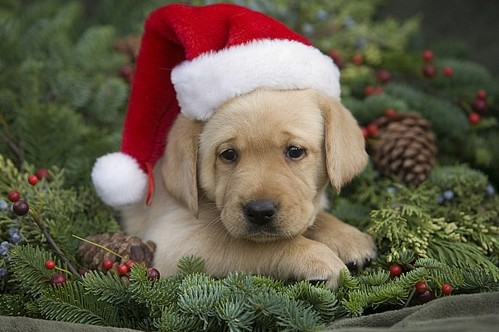 Buying a Pet for Christmas